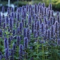 Mobile Preview: Agastache Rugosa-Hybride 'Blue Fortune' - Blaunessel