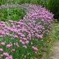 Preview: Allium schoenoprasum 'Forescate' - Purpur-Schnittlauch