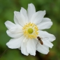 Preview: Anemone Japonica-Hybride 'Wirbelwind' - Herbst-Anemone