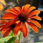 Preview: Echinacea 'Julia'