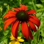 Preview: Echinacea 'Tomato Soup'