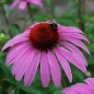 Mobile Preview: Echinacea purpurea 'Magnus'