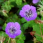 Mobile Preview: Geranium Hybride 'Sweet Heidy' ® – Storchschnabel