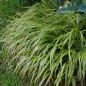 Mobile Preview: Hakonechloa macra 'Albostriata' - Japan-Silberbandgras
