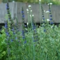 Preview: Hyssopus officinalis 'Caeruleus' - Blauer Ysop