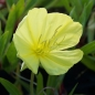 Mobile Preview: Oenothera missouriensis (= macrocarpa) - Polster-Nachtkerze