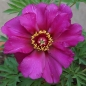 Preview: Paeonia Hybride 'Morning Lilac' - Pfingstrose (intersektionell)