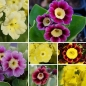 Preview: Primula x pubescens - Gartenaurikel