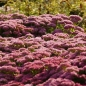 Mobile Preview: Sedum telephium 'Herbstfreude' - Hohe Fetthenne