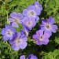Mobile Preview: Geranium Hybride 'Rozanne' ® - Storchschnabel