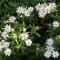 Preview: Aster ageratoides 'Ashvi' - Wild-Aster