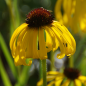 Preview: Echinacea paradoxa