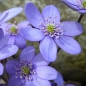 Preview: Hepatica nobilis (Heimisches Leberblümchen)