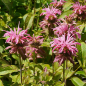 Mobile Preview: Monarda Fistulosa-Hybride 'Croftway Pink' (Indianernessel)