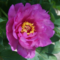 Preview: Paeonia Hybride 'First Arrival' - Pfingstrose (intersektionell)