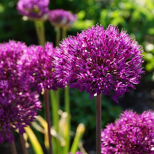 Allium aflatunense 'Purple Sensation' - Purpur-Kugellauch
