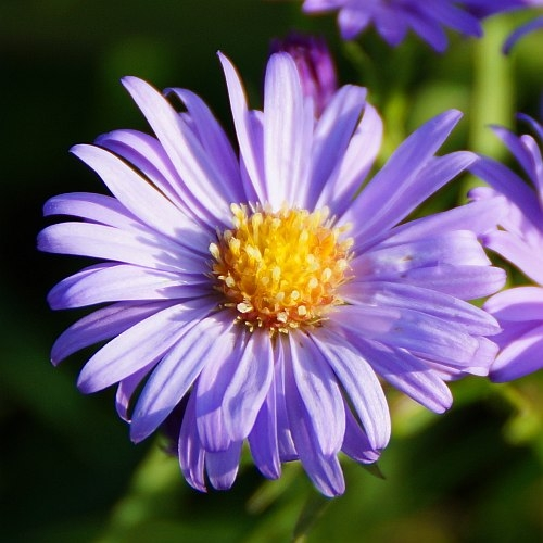 Aster dumosus 'Lady in Blue' - Kissen-Aster
