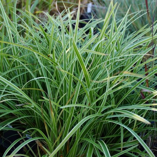 Carex morrowii ssp. foliosissima 'Icedance' - Teppich-Japan-Segge