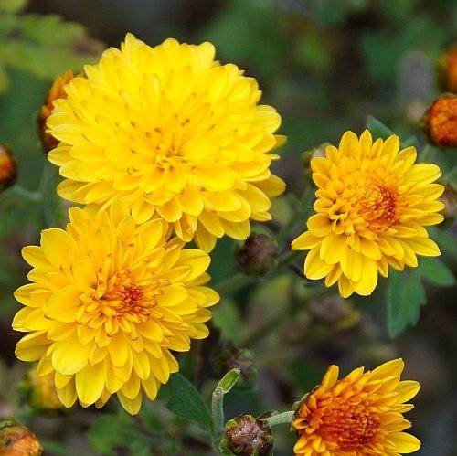 Chrysanthemum Indicum Hybride Bienchen Herbst Chrysantheme