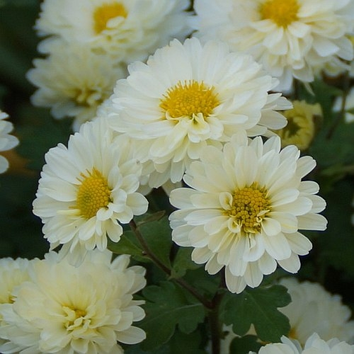 Chrysanthemum Indicum Hybride Hebe Herbst Chrysantheme Stauden