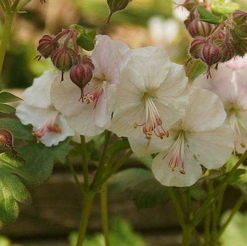 geranium macrorrhizum 39 spessart 39 balkan storchschnabel staudeng rtnerei strasser. Black Bedroom Furniture Sets. Home Design Ideas