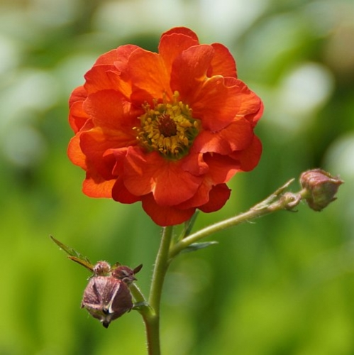 Geum x cultorum 'Red Wings' - Nelkenwurz