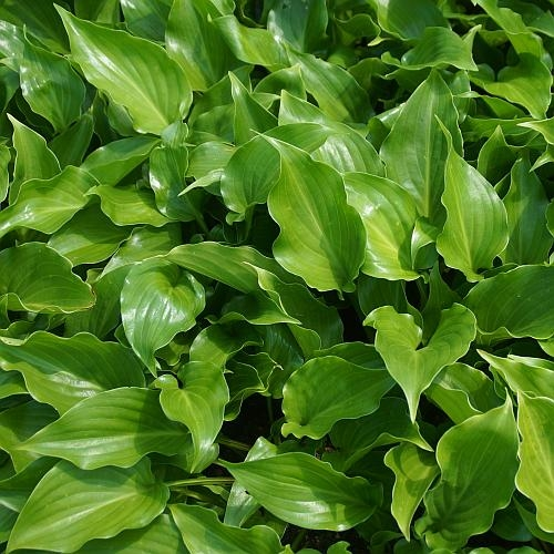 Hosta Hybride 'Invincible' - Funkie