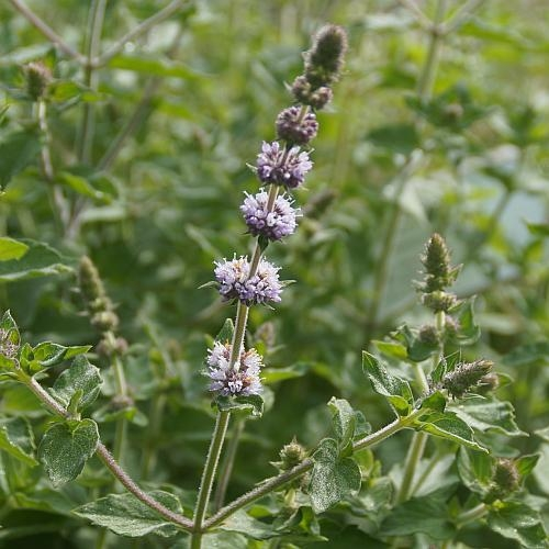 Mentha species 'Hillary's Sweet Lemon' - Süße Limonen-Minze