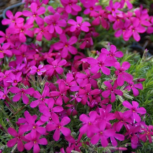 phlox douglasii 39 ochsenblut 39 polster phlox. Black Bedroom Furniture Sets. Home Design Ideas