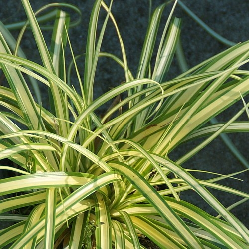 Carex oshimensis 'Evergold' (Japan-Gold-Segge)