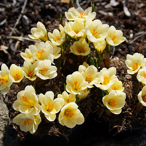 Crocus chrysanthus 'Cream Beauty' (Balkan-Krokus)