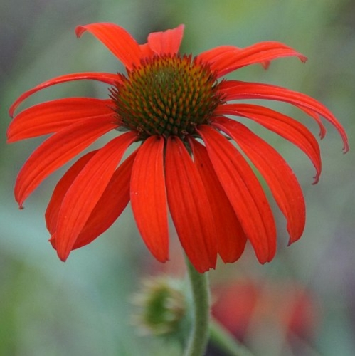 Echinacea Hybride 'Tomato Soup' ® (Roter Sonnenhut)