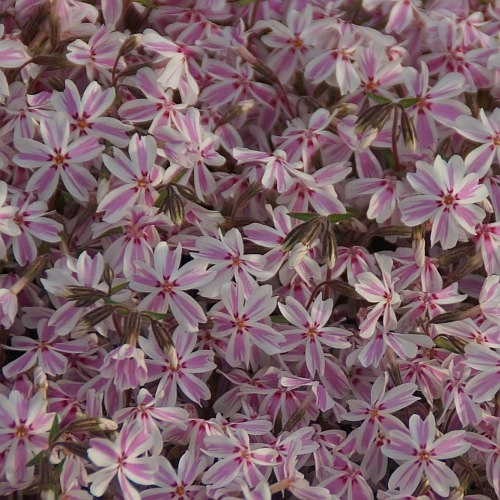 Phlox subulata 'Candy Stripes' - Polster-Phlox