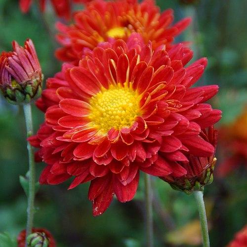 Chrysanthemum Indicum Hybride Rumpelstilzchen Herbst