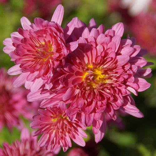 Chrysanthemum Indicum Hybride Schweizerland Herbst Chrysantheme