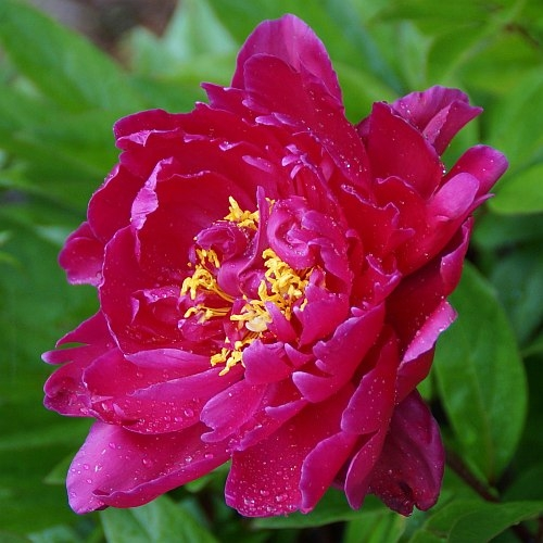 paeonia lactiflora 39 karl rosenfield 39 edel pfingstrose staudeng rtnerei strasser. Black Bedroom Furniture Sets. Home Design Ideas