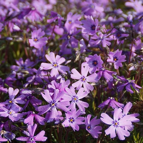 phlox subulata 39 violetta 39 polster phlox. Black Bedroom Furniture Sets. Home Design Ideas